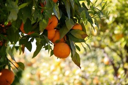 le dolcissime arance marocchine