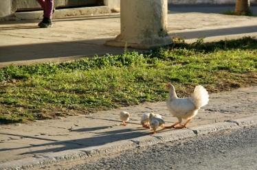 gallina e pulcini sul ciglio della strada