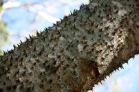 l'albero della suocera