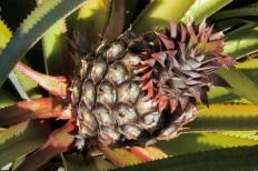 nel campo di ananas