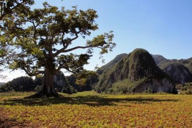 mogotes e immensi alberi