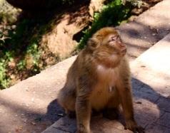 una delle tante scimmie che popolano Ouzoud